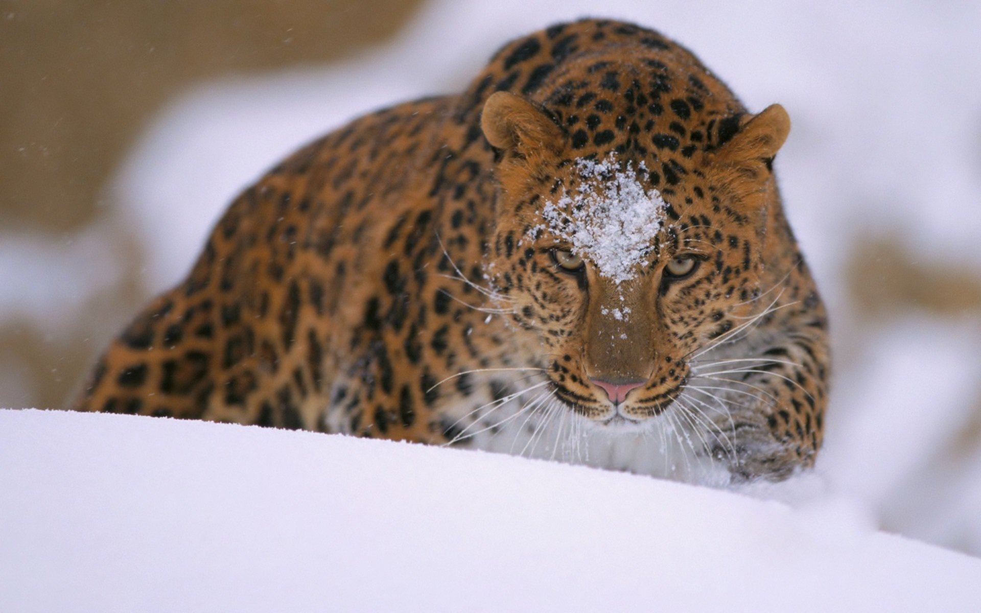 wallpaper amur leopard animal -#main