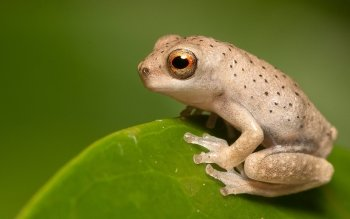 Animal - Frog Wallpapers and Backgrounds ID : 476889