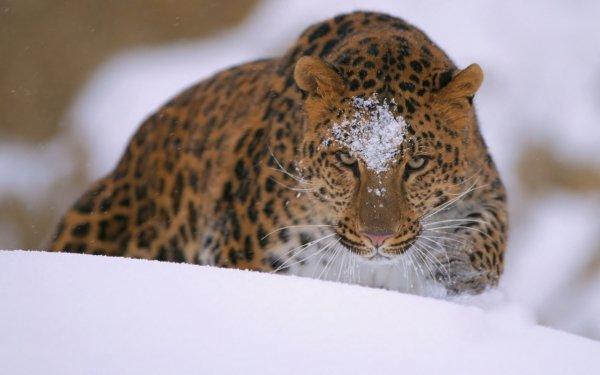 Animal Leopard Cats Amur Leopard HD Wallpaper | Background Image