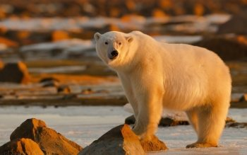Animal - Polar Bear Wallpapers and Backgrounds ID : 478142