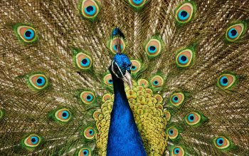 Animal - Peacock Wallpapers and Backgrounds ID : 479247