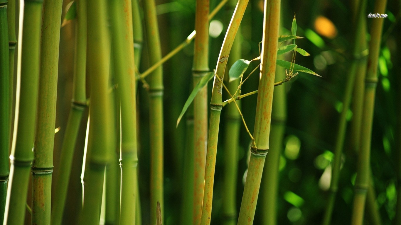 Bamboo wallpaper and background image 1366x768 id 481157 for Bamboo wallpaper for walls