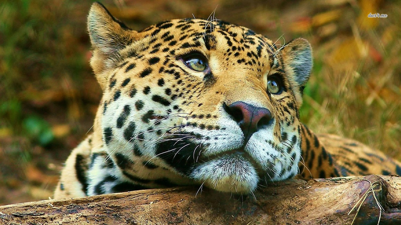 Animal Kingdom Cool Pets Cute Animals Wild Animals Hd: Leopard Wallpaper And Background Image