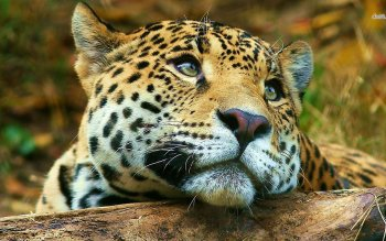 Animalia - Leopard Wallpapers and Backgrounds ID : 487360