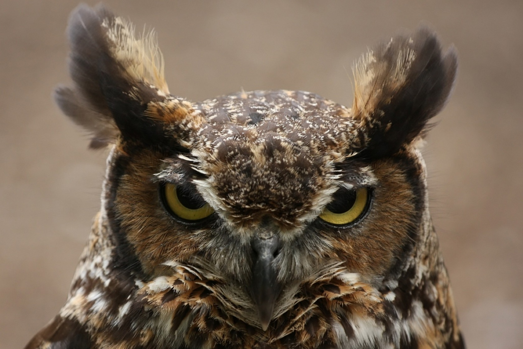 hd great horned owl - photo #21