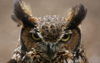 Animal - Owl Wallpapers and Backgrounds ID : 49152