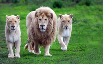 Animal - Lion Wallpapers and Backgrounds ID : 492207