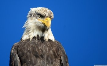 Animal - Eagle Wallpapers and Backgrounds ID : 492631