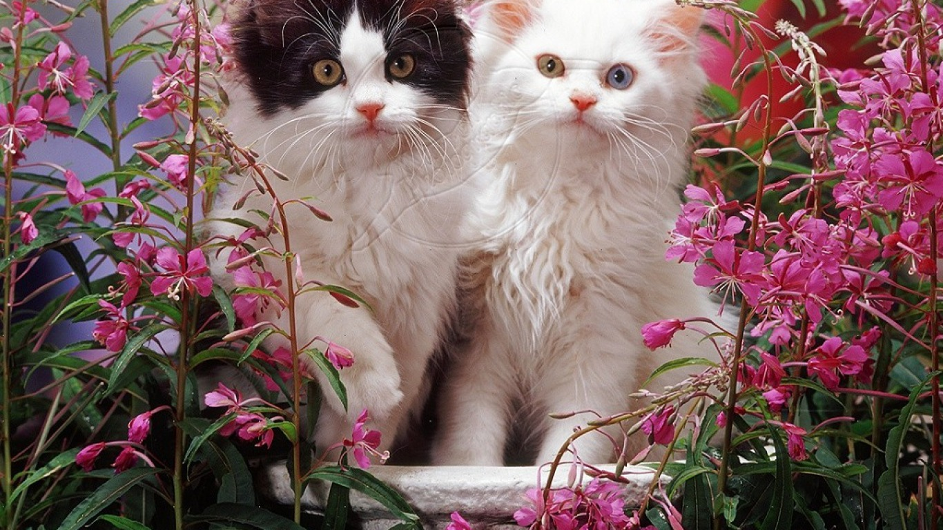 Spring kittens wallpaper and background image 1366x768 - Kitten backgrounds ...