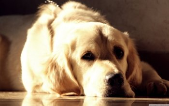 Animal - Golden Retriever  Wallpapers and Backgrounds ID : 495463