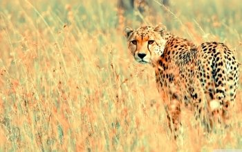 Djur - Cheetah Wallpapers and Backgrounds ID : 495974
