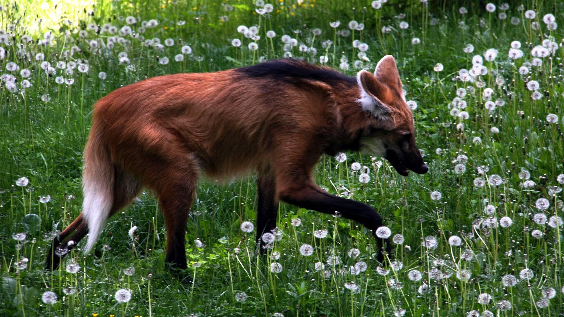 Maned Wolf HD Wallpaper | Background Image | 1950x1097 | ID