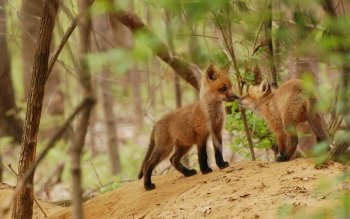 Animal - Red Fox Wallpapers and Backgrounds ID : 496061