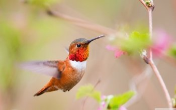 Animal - Hummingbird Wallpapers and Backgrounds ID : 498766