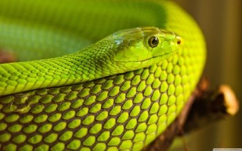 Animal - Snake Wallpapers and Backgrounds ID : 498966