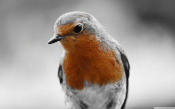 Animal - Robin Wallpapers and Backgrounds ID : 499155