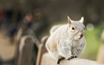 Animal - Squirrel Wallpapers and Backgrounds ID : 499161
