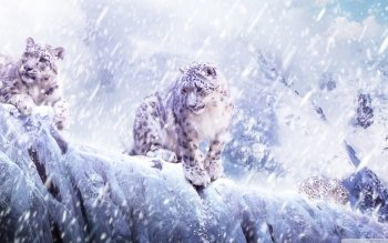 Animal - Snow Leopard Wallpapers and Backgrounds ID : 500408