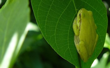 Animal - Frog Wallpapers and Backgrounds ID : 500531