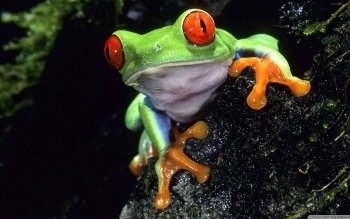 Animal - Frog Wallpapers and Backgrounds ID : 500590