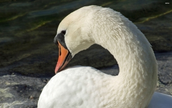 Animal - Swan Wallpapers and Backgrounds ID : 500600
