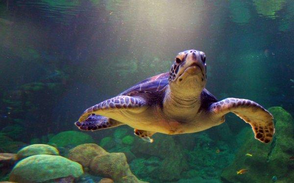 Animal Sea Turtle Turtle HD Wallpaper   Background Image