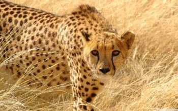 Djur - Cheetah Wallpapers and Backgrounds ID : 501359