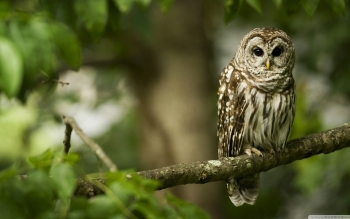 Animal - Owl Wallpapers and Backgrounds ID : 502057