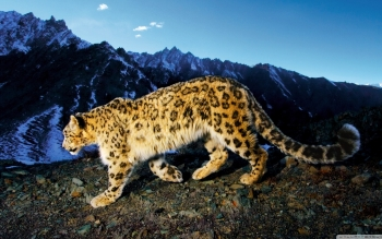 Tier - Snow Leopard Wallpapers and Backgrounds ID : 502063