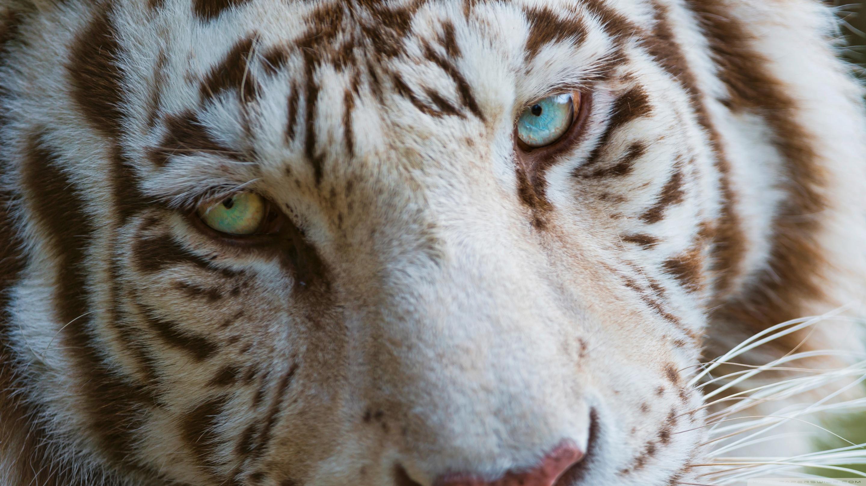 Tigre Blanc Fond d'écran HD | Arrière-Plan | 2880x1620 | ID:503780 - Wallpaper Abyss