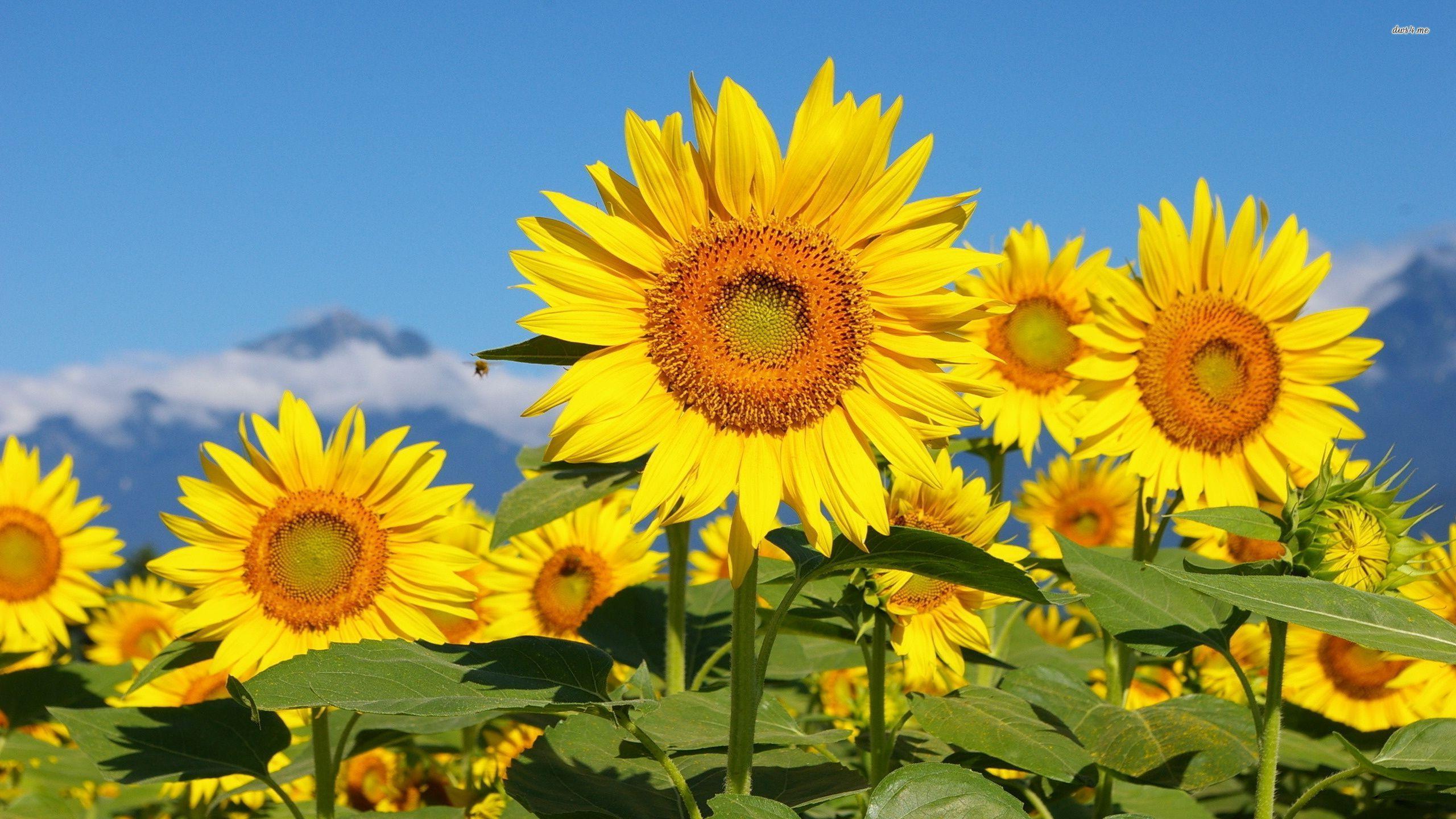 Sunflower Papéis De Parede, Plano De Fundo Área De