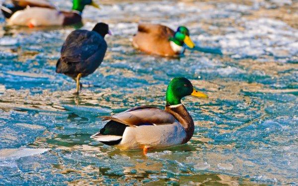 Animal Mallard Birds Ducks Bird HD Wallpaper   Background Image