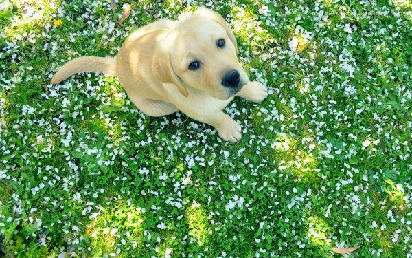 Animal Labrador Retriever Dogs Dog Puppy HD Wallpaper | Background Image
