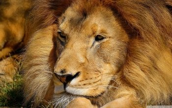 Dierenrijk - Lion Wallpapers and Backgrounds ID : 507090