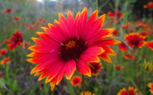 Tierra/Naturaleza Flor Flores Girasol Grandiflora Fondo de pantalla HD | Fondo de Escritorio