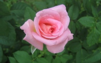 Earth - Rose Wallpapers and Backgrounds ID : 510903