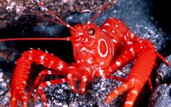 Animal - Shrimp Wallpapers and Backgrounds ID : 512013
