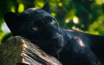 Animal - Black Panther Wallpapers and Backgrounds ID : 512021
