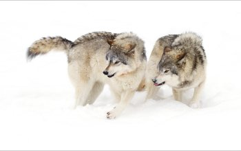 Animal - Wolf Wallpapers and Backgrounds ID : 514298