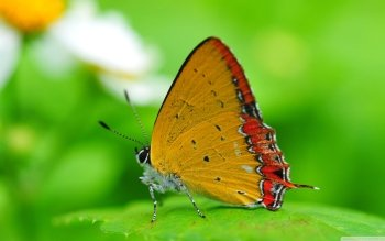 Animal - Butterfly Wallpapers and Backgrounds ID : 520392