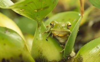 Animal - Frog Wallpapers and Backgrounds ID : 522086