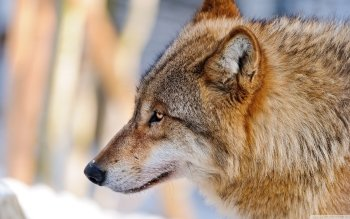 Animal - Wolf Wallpapers and Backgrounds ID : 522291