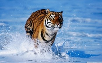 Animal - Tiger Wallpapers and Backgrounds ID : 522601