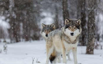 Animal - Wolf Wallpapers and Backgrounds ID : 523053