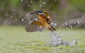 Animal - Kingfisher Wallpapers and Backgrounds ID : 523830