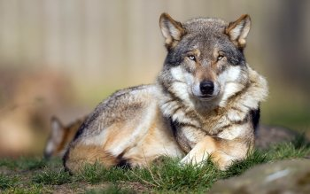 Animal - Wolf Wallpapers and Backgrounds ID : 524406