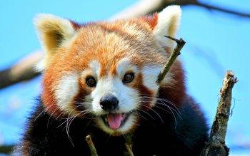 Animaux - Panda Roux Fonds d'écran et Arrière-plans ID : 524540
