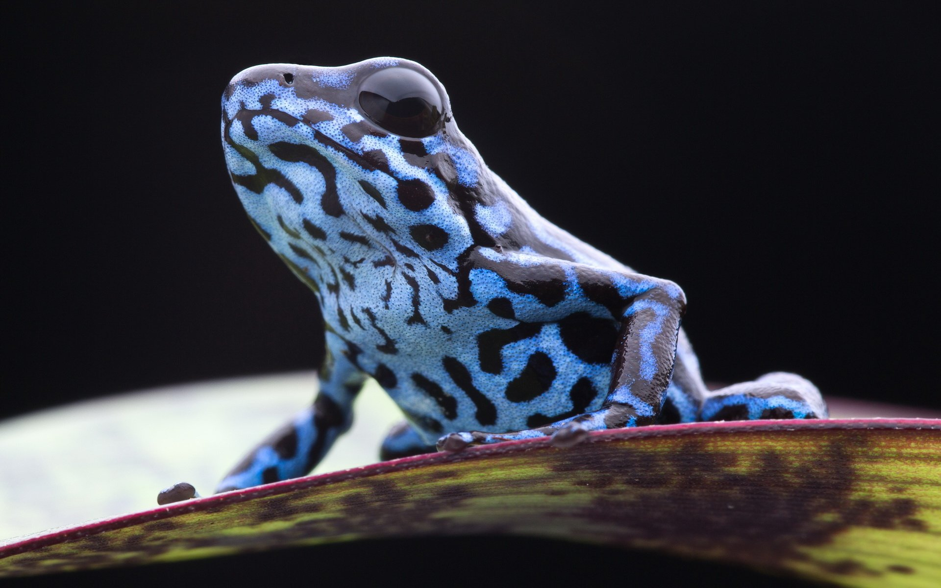 Animal - Poison dart frog  Frog Wallpaper