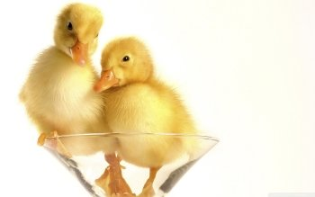 Animal - Duckling Wallpapers and Backgrounds ID : 525798