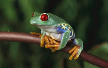 Animal - Red Eyed Tree Frog Wallpapers and Backgrounds ID : 526833